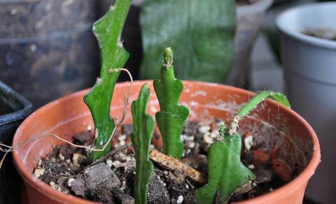Свежевысаженные кактусы Эпифиллум