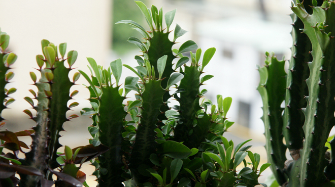 Растение молочай треугольный