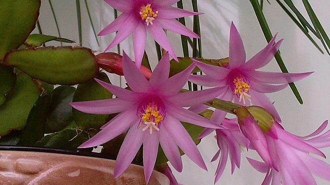 Цветение кактуса рипсалидопсиса