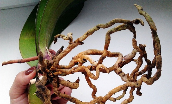 Пересадка желтого фаленопсиса