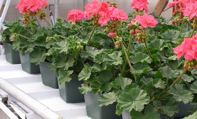 Много цветущих пеларгоний