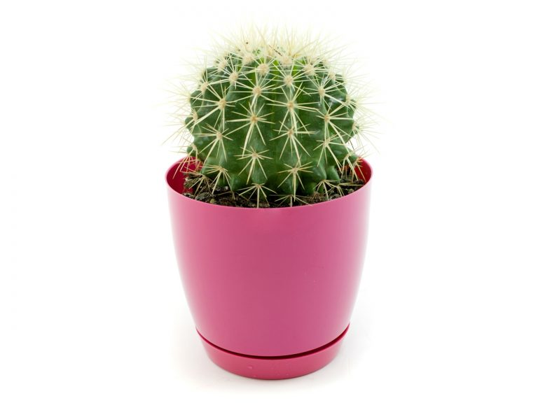 Полезное комнатное растение кактус