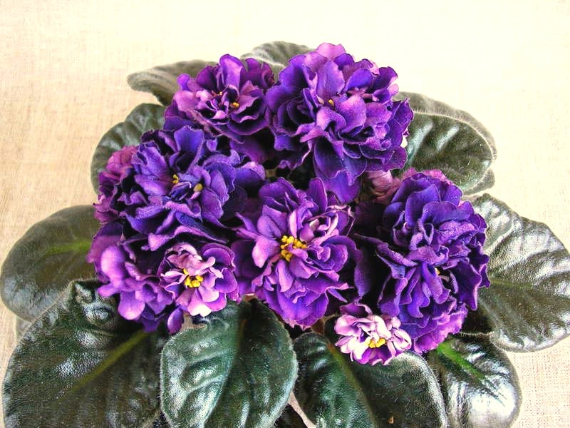 Роза черный принц фото описание бревенчатого