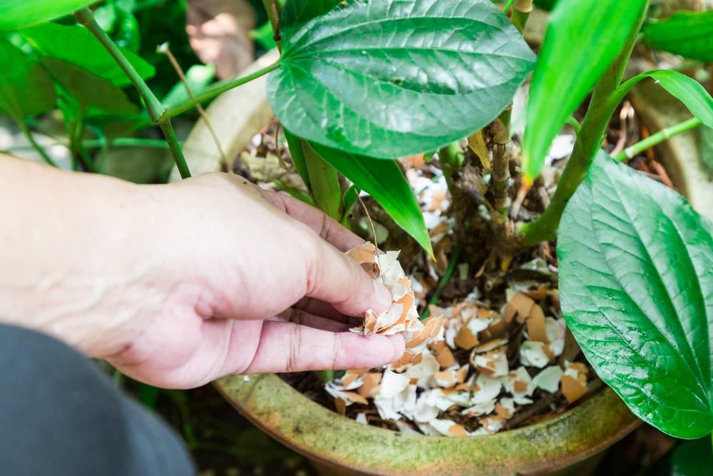 Как удобрять комнатные растения с помощью яичной скорлупы видео