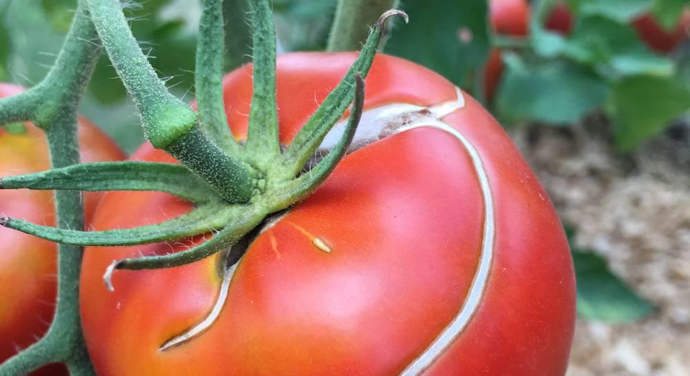 трещины томатов концентрированные