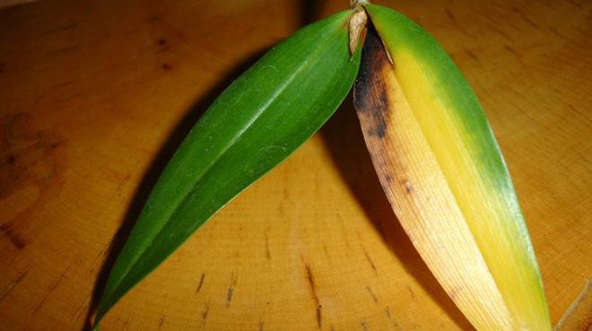 Желтый лист ванды