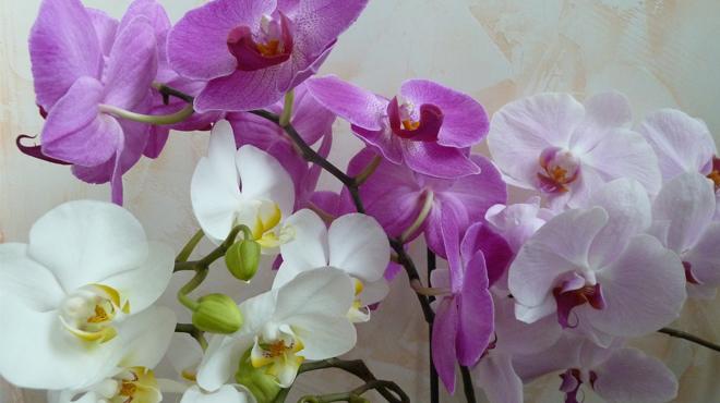 Орхидея Дендробиум цветущая