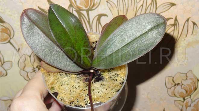 Молодая орхидея