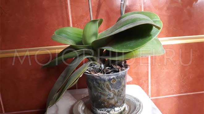 Орхидея с гнилыми корнями