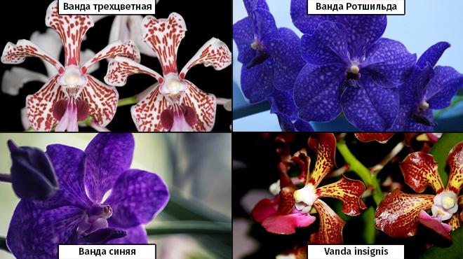 4 вида Ванды