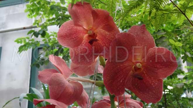 Орхидея ванда и уход за ней в домашних условиях