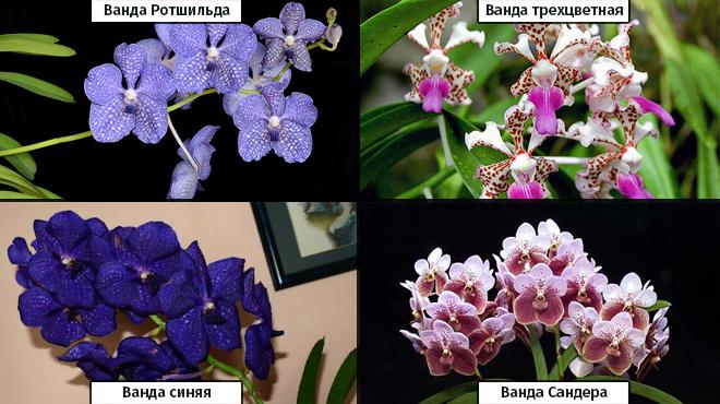 Виды орхидеи Ванды