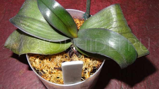 Больная орхидея и вялые листья