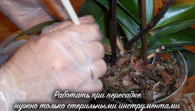 Цветок вынимают из горшка