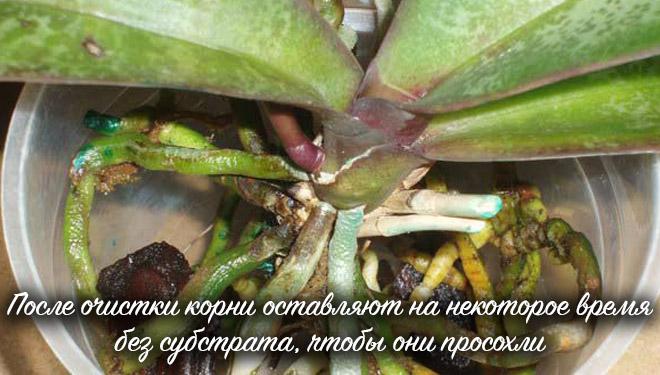 Просушивание корней Фаленопсиса