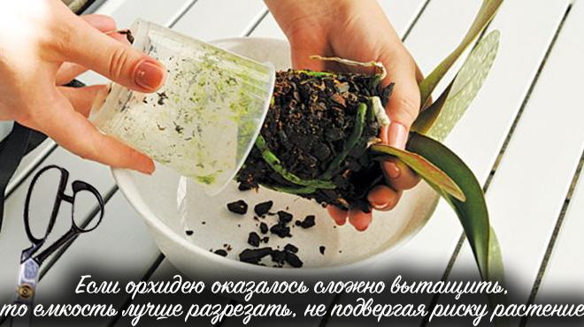 Извлечение орхидеи из горшка