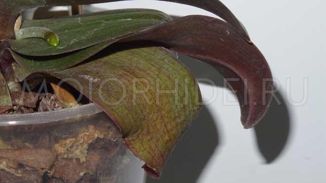 Обезвоженные листья орхидеи