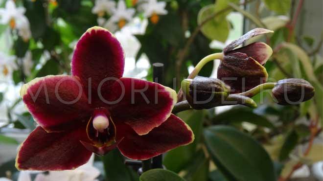 Бордовый яркий цветок орхидеи
