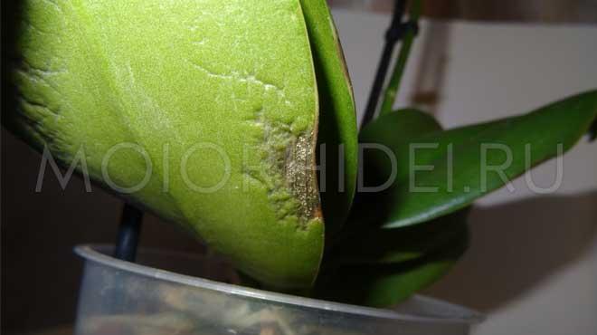 Антракоз грибковый на листе