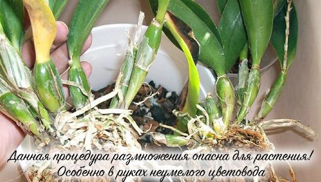 Разделенная орхидея