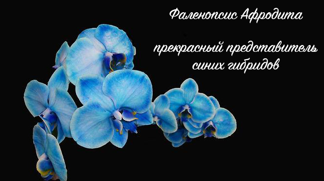 Синяя Афродита
