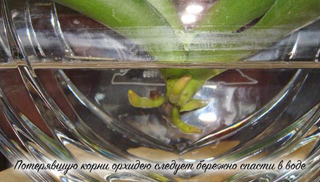 Реанимация орхидеи в воде