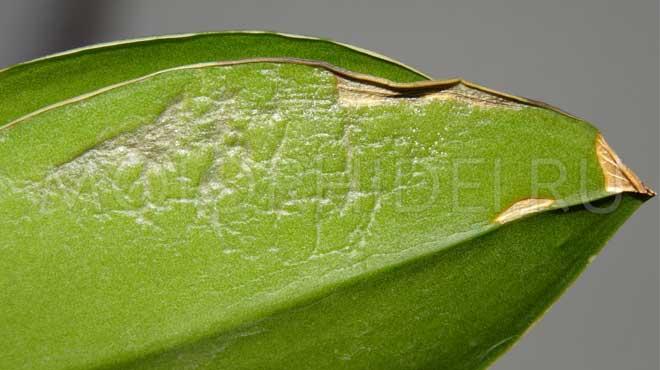 Листочек орхидеи болеет