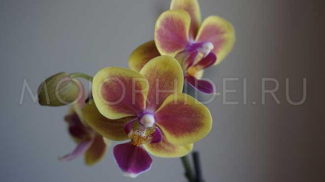 Желто-красный цвет орхидного