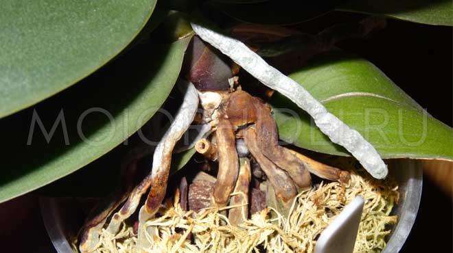 Начали высыхать корни орхидеи