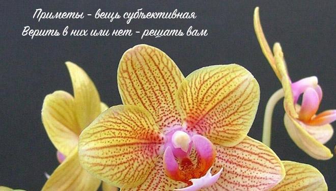 Большая желтая орхидея