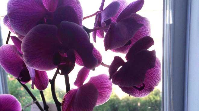 Прекрасное цветение Фаленопсиса