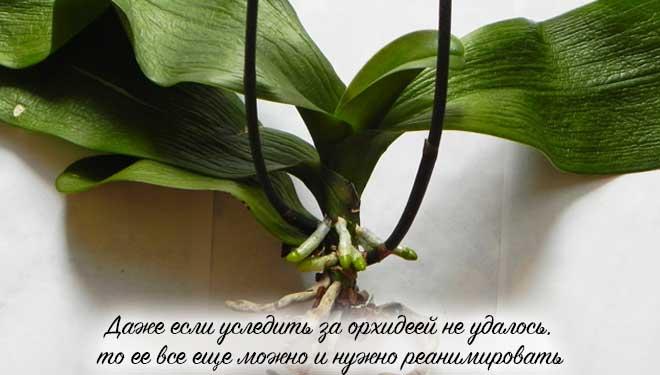 Больная орхидея