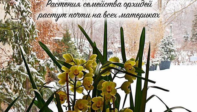 Орхидея на фоне снега