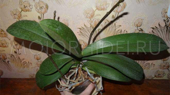 Орхидея с цветоносами