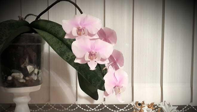 Орхидея Шиллера