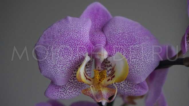 орхидея ванды