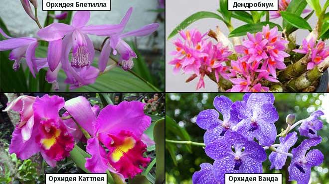 Виды фиолетовых орхидей