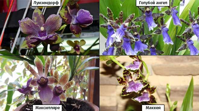 4 вида Зигопеталума