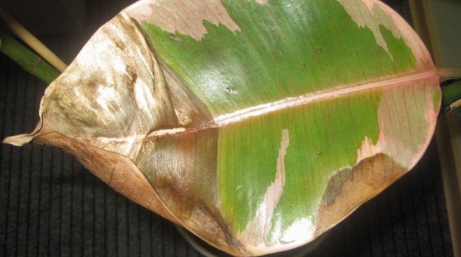 Большие коричневые пятная на листьях фикуса