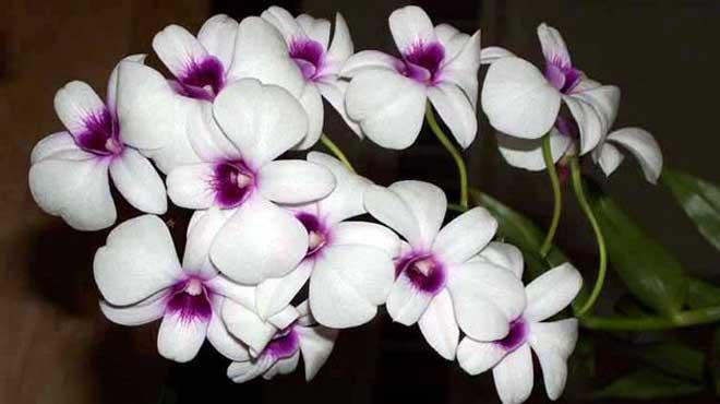 Цветы фаленопсис дендробиум