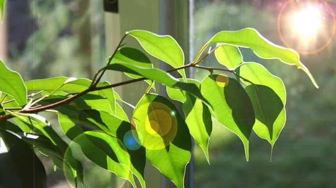 Солнечный луч падает на листья фикуса