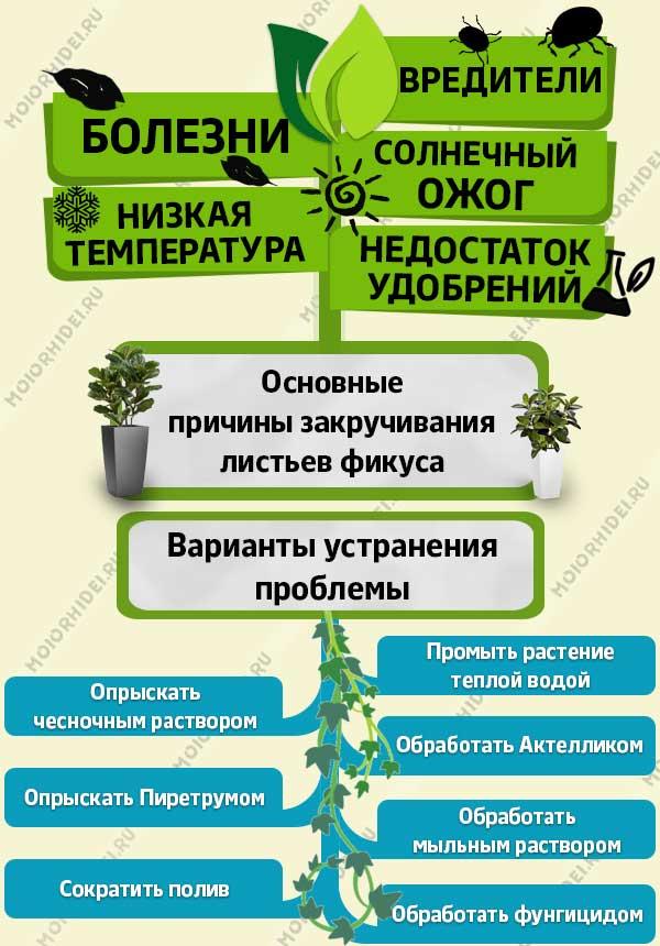 Инфографика листья фикуса