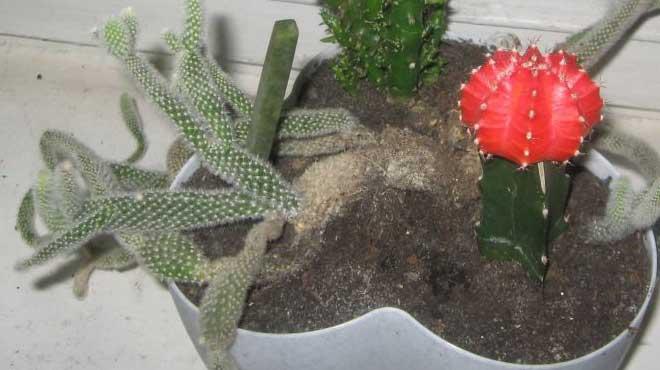 Кактусы в вазоне