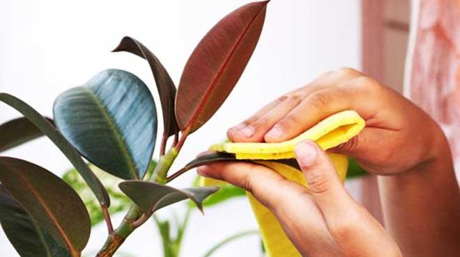 Обработка листьев фикуса мыльным раствором