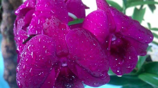 Капли воды на цветах фаленопсиса