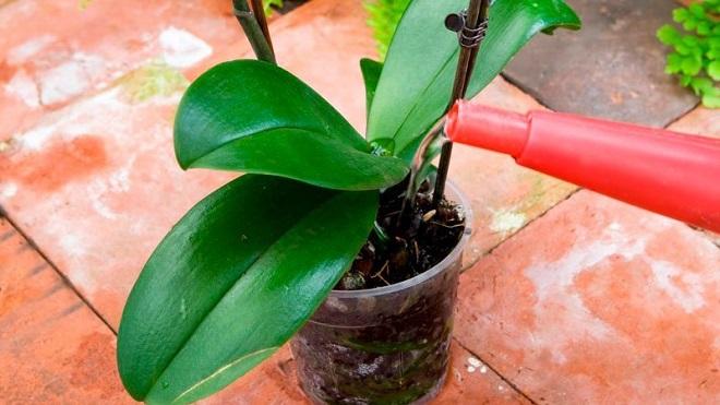 Процесс орошения орхидеи