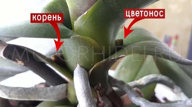 Корень орхидеи и новый цветонос