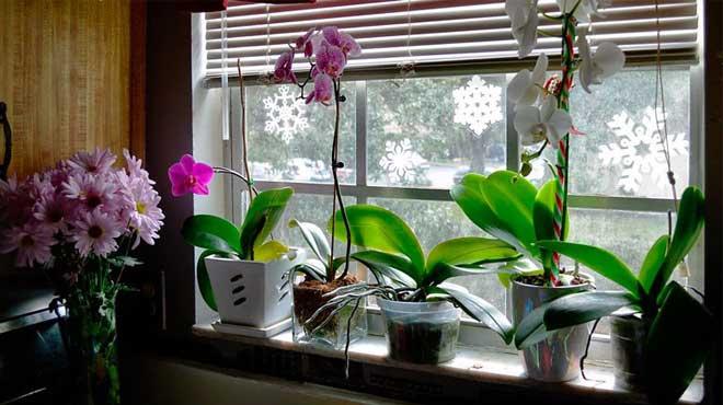 Орхидеи зимой на подоконнике