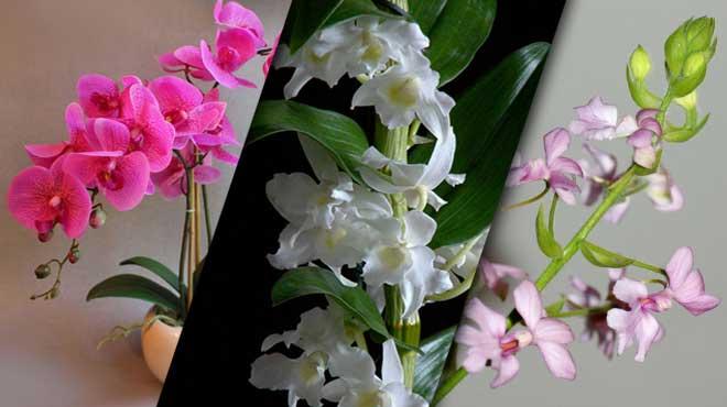 Классы орхидей по выраженности покоя
