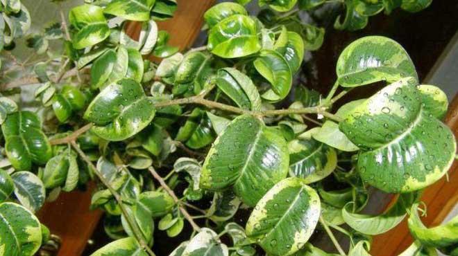 Капли влаги на листьях фикуса